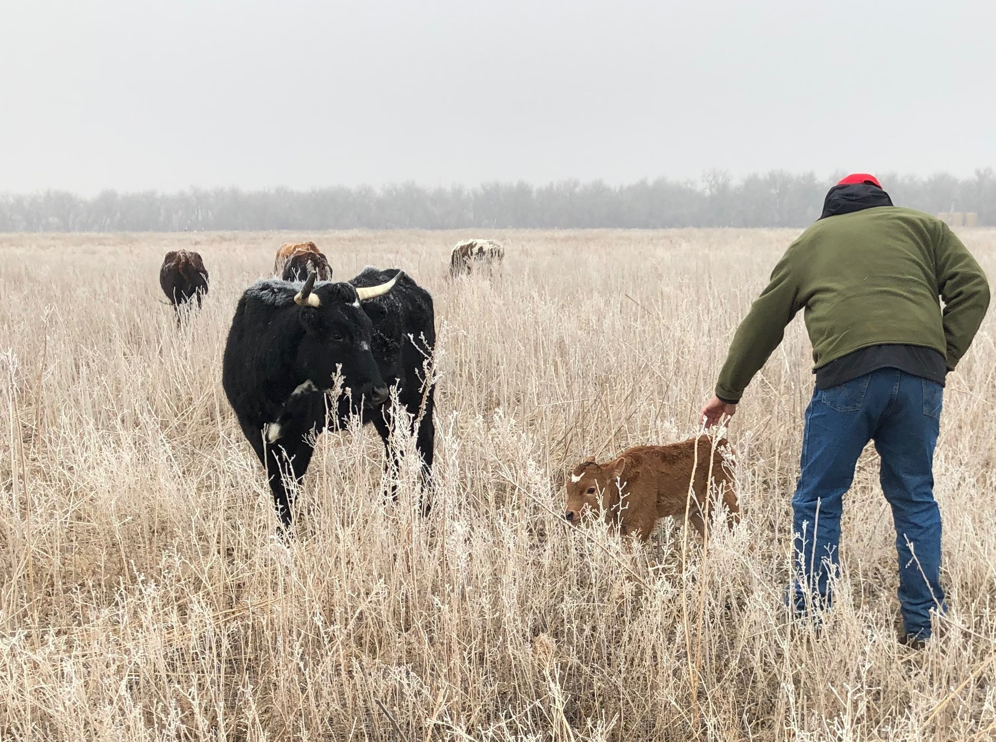 High Plains Beef owner, Fred Stiles, checking on a calf
